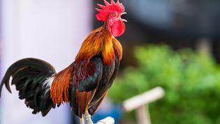 Les cris ou les chants des volatiles et autres animaux à la campagne suscitent bien souvent des querelles de voisinage...Quels sont vos droits ? (Illustration) (GETTY IMAGES / EYEEM)
