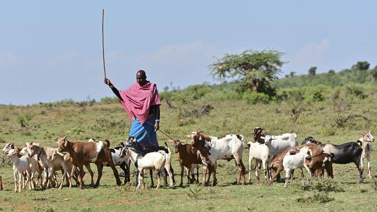 Un berger surveille un troupeau de chèvres dans le comté de Laikipia (ouest du Kenya), le 6 août 2019. (TONY KARUMBA / AFP)