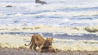 Une lionne attaquant un phoque à fourrure sur la Skeleton coast (la côte des squelettes) dans le nord-ouest de la Namibie. (Namibian Journal namibien of environement)