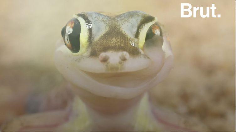VIDEO. Ce lézard aux yeux géants se nettoie les yeux avec sa langue (BRUT)