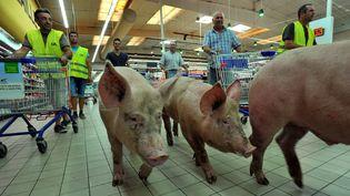 Des agriculteurs du Lot-et-Garonnelâchent trois cochons dans un supermarché d'Agen pour protester contre les prix d'achats de la grande distribution, le 22 juillet 2015. (DDM JEAN MICHEL MAZET / MAXPPP)
