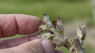 Un feuille de vigne victime du gel printanier (photo d'illustration). (CHRISTIAN WATIER / MAXPPP)