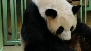 Zoo de Beauval : Huan Huan a donné naissanceà deux bébéspandas (France 2)
