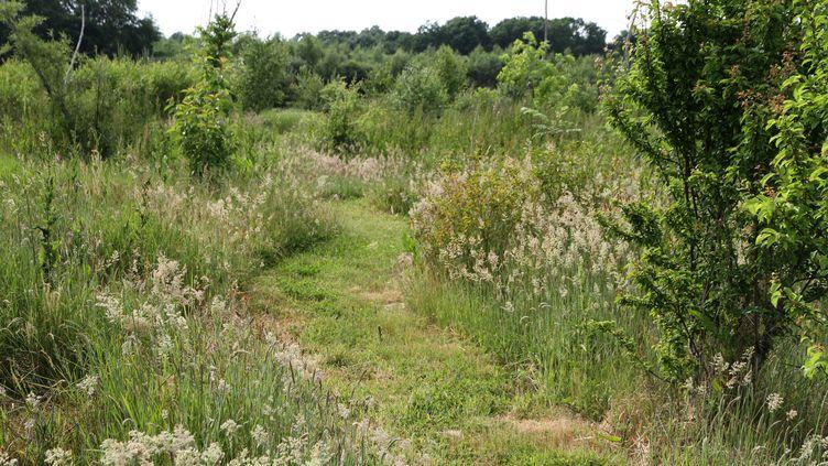 Un chemin tondu au Flérial, le jardin d'Éric Lenoir, à Volgré, dans l'Yonne. (ISABELLE MORAND / ERIC LENOIR / RADIO FRANCE / FRANCE INFO)