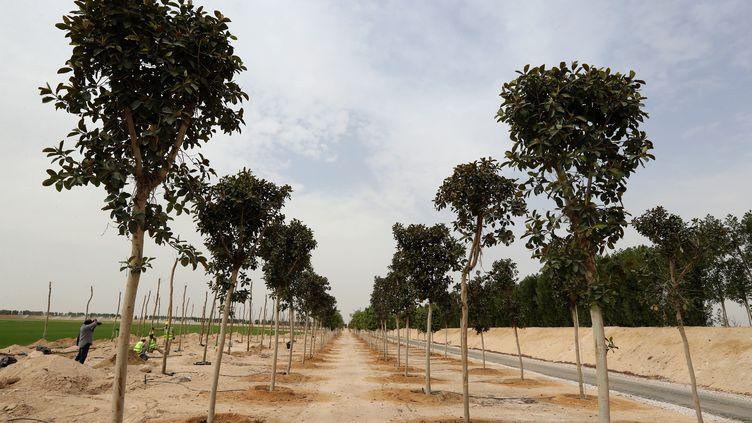 L'un des espaces de la pépinière créée pour les arbres et le gazon de la prochaine Coupe du monde 2022 au Qatar, le 22 février 2018. (KARIM JAAFAR / AFP)