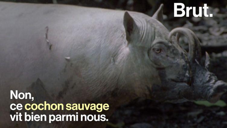 VIDEO. Connaissez-vous le babiroussa, un étrange cochon sauvage en Indonésie ? (BRUT / FRANCEINFO)
