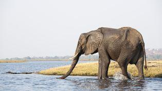 Un éléphant, photographié le 30 janvier 2014 auBotswana. (SERGIO PITAMITZ / BIOSPHOTO / AFP)