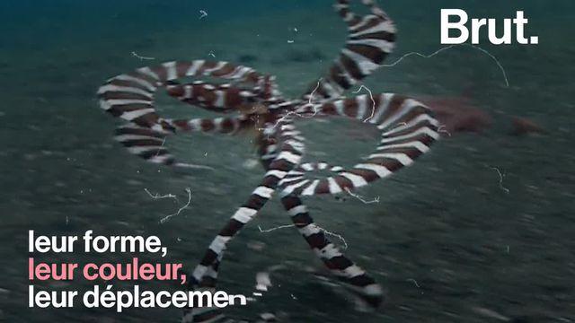 Dans le règne animal, il est un animal dont les capacités d'imitation restent sans égal. La pieuvre mimétique porte décidément bien son nom.
