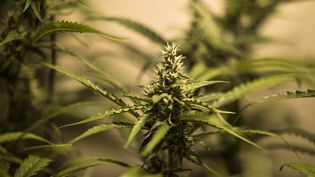 Culture de cannabis en intérieur (photo d'illustration). (NICOLAS PARENT / MAXPPP)