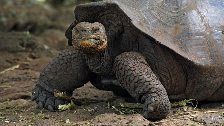 Une tortue géante d'une autre espèce sur l'île de San Cristobal, qui fait partie de l'archipel des Galapagos (Equateur), le 29 mai 2017. (MARTIN RIETZE / AFP)