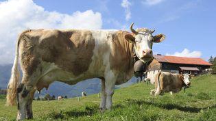 Des vaches à La Rossinière, dans le canton de Vaud (Suisse), le 31 janvier 2014. (GERARD GUITTOT / PHOTONONSTOP / AFP)