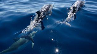 Des dauphins à La Ciotat (Bouches-du-Rhône), le 23 juin 2020. (CHRISTOPHE SIMON / AFP)