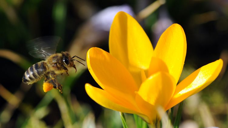 Les abeilles pourraient avoir des idées abstraites et de les manipuler. (PATRICK SEEGER / AFP)