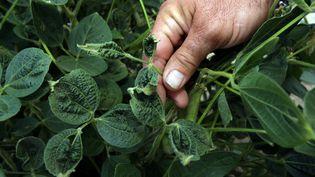 Des pousses de soja touchées par l'herbicide dicamba, le 25 juillet 2017 à Dell, dans l'Arkansas (Etats-Unis). (KAREN PULFER FOCHT / REUTERS)