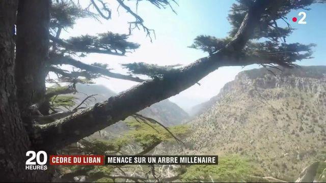Réchauffement climatique : les cèdres millénaires du Liban désormais menacés