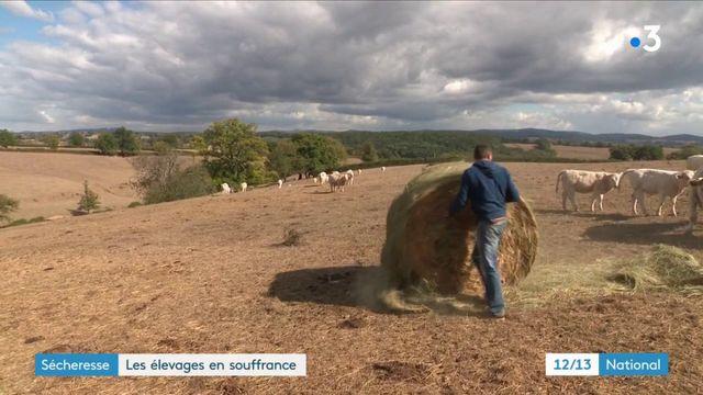 Sécheresse : les élevages en souffrance