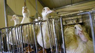 Des canards gavés, à Momy (Pyrénées-Atlantiques) pour la société Euralis, le 19 janvier 2007. (MAXPPP)