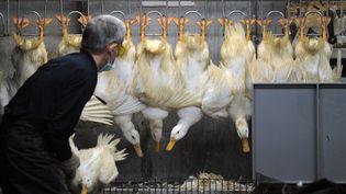 Un éleveur trie les canards sur un marché à Taipei (Taiwan), le 25 avril 2013. (SAM YEH / AFP)