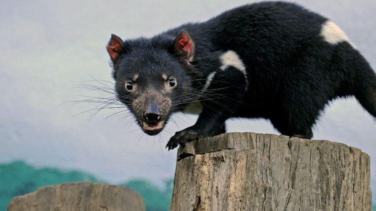 Un diable de Tasmanie, le 30 juin 2010 dans un zoo de Sydney (Australie). (GREG WOOD / AFP)