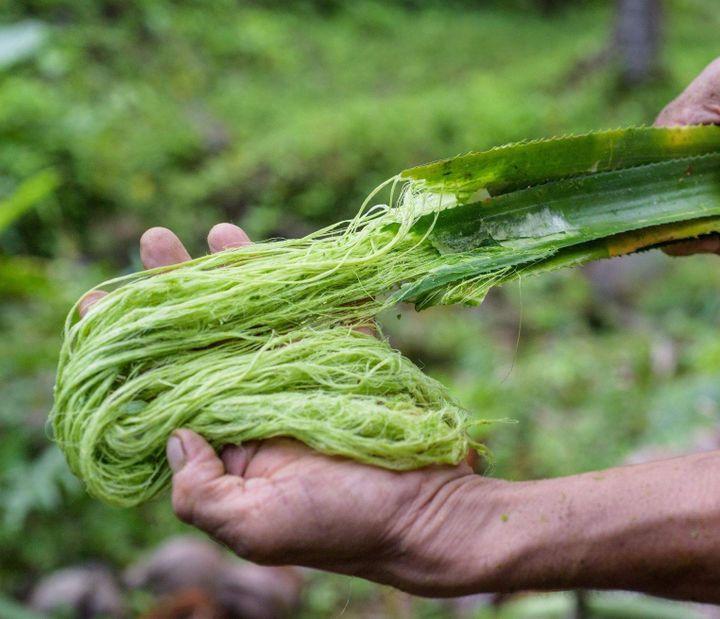 Des feuilles d'ananas avant transformation en fibres dePiñatex (Piñatex)