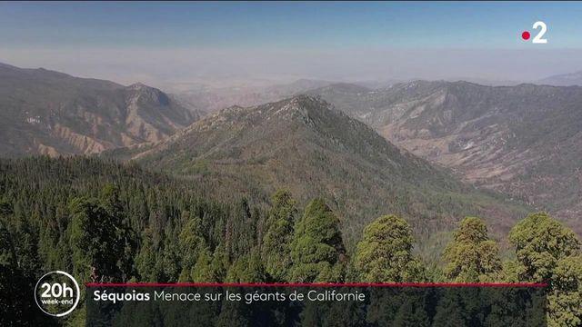 Sequoias : les grands arbres de Californie menacés