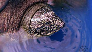 """Une tortue """"Rafetus swinhoei"""", capturée et photographiée au Vietnam en octobre 2020, quelques heures avant d'être relâchée dans la nature. (WCS VIETNAM)"""