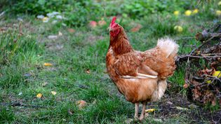 Il n'y avait pas eu de cas de grippe aviaire en France depuis 2006. (CITIZENSIDE / GERARD BOTTINO / AFP)