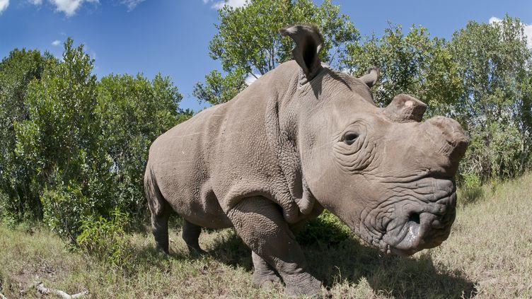 Il ne reste désormais plus que six rhinocéros blancs du Nord vivants sur la planète. (TUI DE ROY / MINDEN PICTURES / AFP)