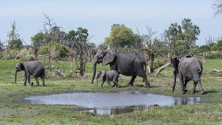 Des éléphants au Botswana. Photo d'illustration.  (WOLFGANG KAEHLER / LIGHTROCKET)