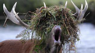 Drame du célibat chez les cerfs. Pour attirer l'attention d'une femelle, ce cerf du parc de Richmond, à Londres (Royaume-Uni), a eu l'idée de se confectionner une perruque en herbes folles #unjouruneastuce. (CATERS NEWS AGENCY / SIPA)