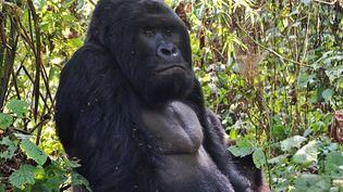 Un gorille de l'Est dans la jungle enRépublique démocratique du Congo, le 4 septembre 2016. (PETER MARTELL / AFP)