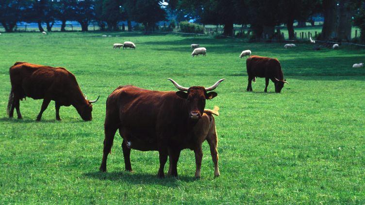 Vaches de race Salers en pâturage. (MAXPPP)