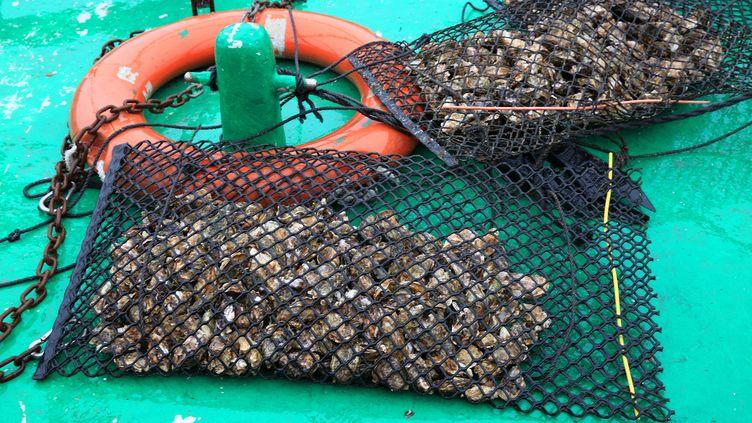 Des huîtres pêchées dans l'étang de Thau (Hérault), le 2 juin 2019. (ERIC GUILLORET / BIOSPHOTO / AFP)