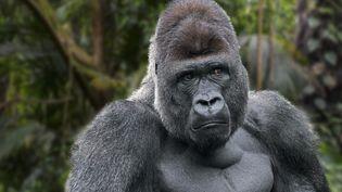 Gorille des plaines de l'Ouest. (PHILIPPE CLEMENT / MAXPPP)
