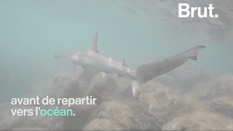 Une pouponnière naturelle de requins marteaux vient d'être découverte aux Galapagos (BRUT)