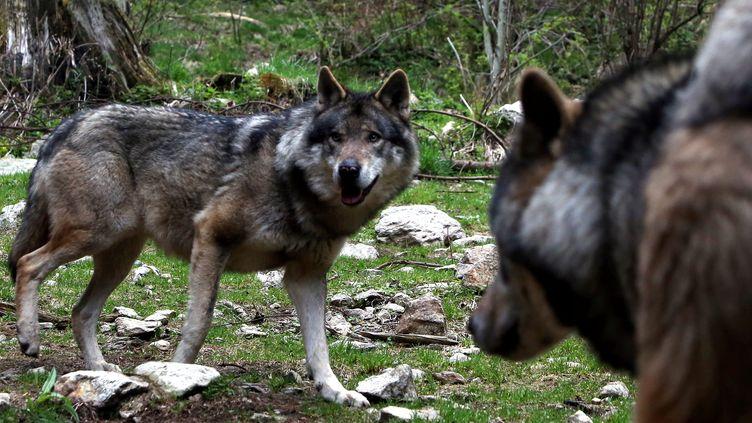 Des loups gris d'Europe dans le parc animalier Alpha àSaint-Martin-Vésubie (Alpes-Maritimes), en mai 2017. (MAXPPP)