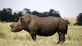 Un rhinocéros dont la corne a été coupée pour éviter qu'il soit tué par des braconniers (? SIPHIWE SIBEKO / REUTERS / X90069)