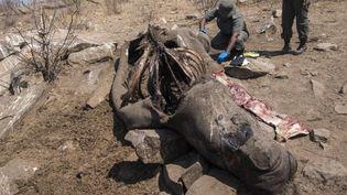 Cette femelle rhinocéros blanc, espèce menacée de disparition, a été abattue par des braconniers qui lui ont arraché sa corne pour la vendre. Cela s'est passé mi-août 2018 dans le parc Kruger an Afrique du Sud où les rangers ont découvert la carcasse de l'animal. (Wikus de WET / AFP)