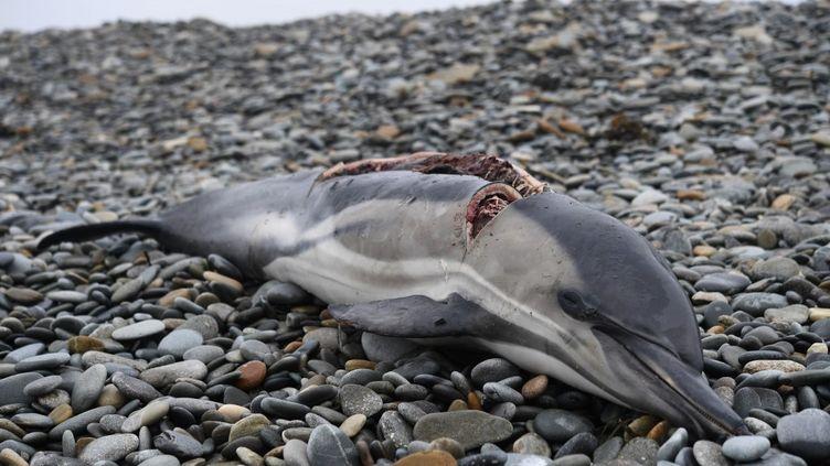 Un dauphin mort échoué sur une plage de Plovan (Finistère), le 30 janvier 2020. (FRED TANNEAU / AFP)