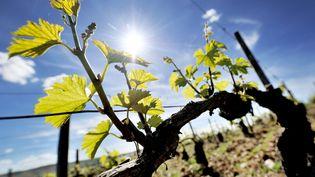 Les vignes de Chablis, dans l'Yonne, sous le soleil le 15 mai 2017. (MAXPPP)
