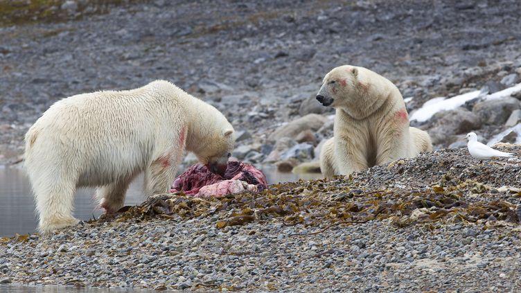 Deux ours polaires mangent un phoque, le 21 janvier 2014 dans l'archipel des Svalbard. (SAMUEL BLANC / BIOSPHOTO / AFP)