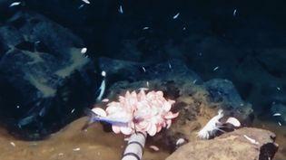 Les scientifiques de l'université britannique de Newcastle ont découvert un nouveau crustacé nommé Eurythenes plasticus. Même s'il vit à plus de 10000 mètres de profondeur il ingère du plastique. (France 3)