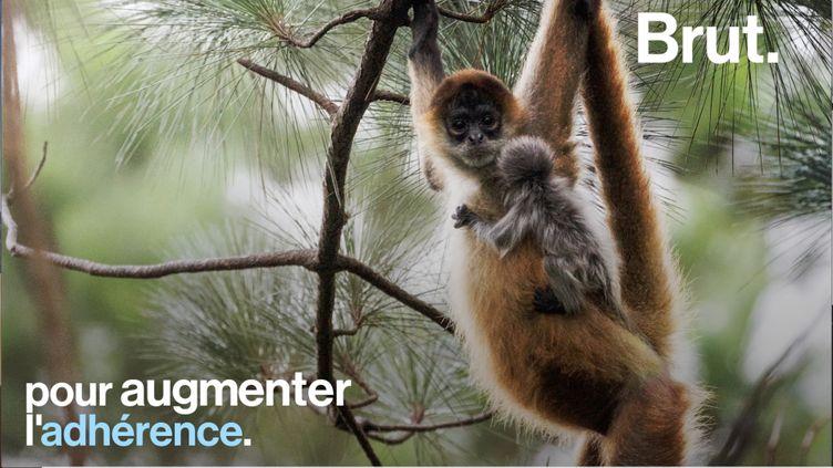 Plus grands singes d'Amérique du Sud, les singes-araignées font preuve d'une grande agilité dans les arbres. Voici pourquoi. (BRUT)