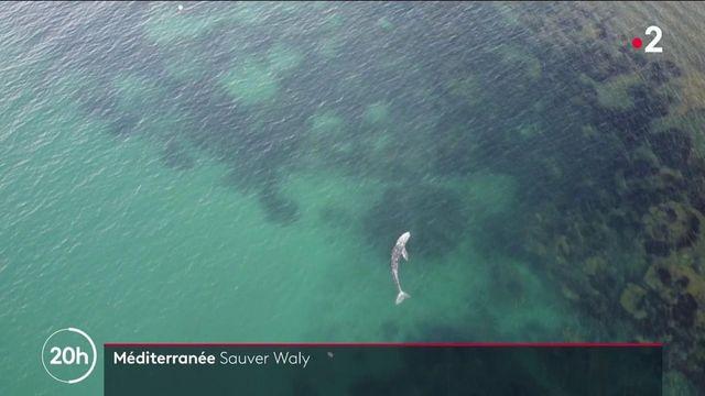 Biodiversité : Wally, le baleineau égaré en Méditerranée, se trouve actuellement dans le port de Sète