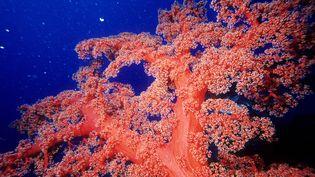 La barrière de corail, fragilisée par le dérèglement climatique et l'intensification de l'activité humaine, a déjà vu sa surface réduite de moitié en 30 ans. (CHICUREL ARNAUD / HEMIS.FR)
