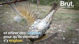 VIDEO. Controversée mais autorisée en France… Qu'est-ce que la chasse à la glu ? (BRUT)