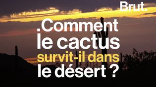VIDEO. Comment le cactus survit-il dans le désert ? (BRUT)