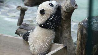 Yuan Bao, un panda âgé de six mois, lors de sa première sortie publique, au zoo de Taipei (Taïwan), le 28 décembre 2020. (HSU TSUN-HSU / AFP)