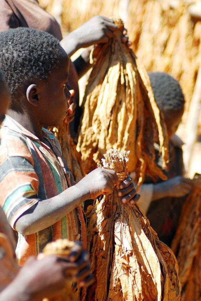En juillet 2009, un enfant transporte des feuilles de tabac dans une plantation dans le village de Zeka au Malawi.  (FELIX MPONDA / AFP)