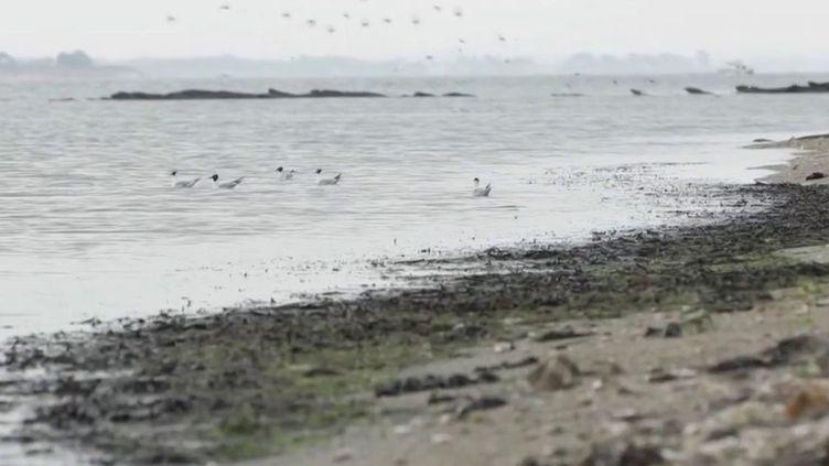 Accueillir les vacanciers sur des plages propres est une priorité pour les communes du littoral face à la pression touristique. En règle générale, ce nettoyage mécanique est réalisé très tôt le matin. Quelles sont les conséquences sur la biodiversité des plages ? (France 3)